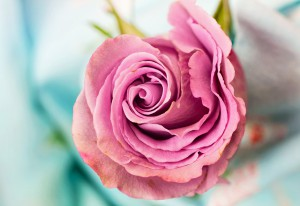 A pink rose, photo taken from above